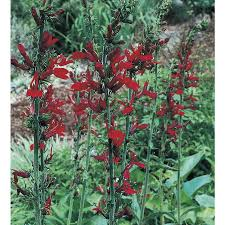 cardinal flower shop monrovia 1 gallon cardinal flower l6053 at lowes