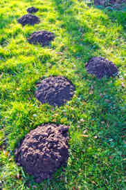 Moles Blind Fifteen Facts About Moles Pest Control Products