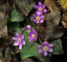 native arkansas plants kentucky native plant and wildlife november 2011