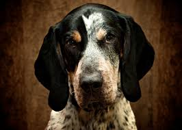 bluetick coonhound rabbit hunting top 10 best hunting dogs