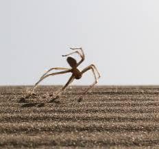 cartwheeling spider found inspires new robot u2013 national