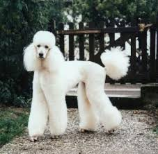 standard poodle hair styles standard poodle white pinteres