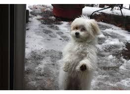 shi poo the shih poo shih tzu poodle mix hubpages