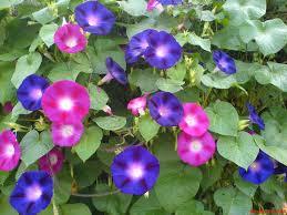 1632x1224 夏の朝顔が美しい壁紙 あさがお 壁紙 夏の花