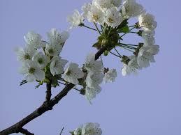 file ornamental cherry tree blossom jpg wikimedia commons