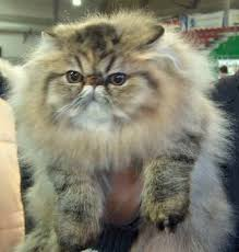gatti persiani bianchi gatto persiano pelo lungo alla scoperta gatto persiano