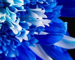 white and blue flowers beautyful flowers blue flowers flowers