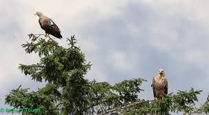 Scotland East Scotland Sea Eagles Our Work The Rspb Community