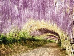 japan flower tunnel purple flowering paradises place time purple japan