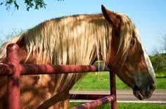 natural beauty style picsdecor com zfdp german warmblood cremello stallion blue eyed dream