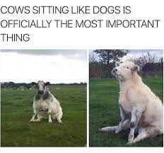 Funny Cow Memes - cows sitting like dogs animals know your meme