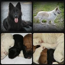 belgian sheepdog for sale uk gsd puppies misstwizells