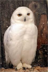Snowy Owl Halloween Costume Snowy Owl Names Owl Artic Owl