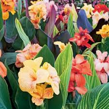 Canna Lily Canna Lilies Archives Garden Express
