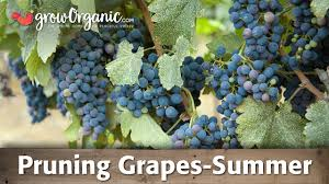 how to prune grapes in the summer organic gardening blog