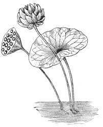 file psm v67 d187 leaf and flower of the lotus nelembium png