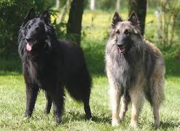 belgian shepherd sydney tervueren and groenendael belgian shepherds breeders puppies
