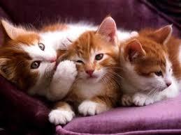 imagenes de gatitos sin frases la verdad de la toxoplasmosis estación veterinaria blogs peru21