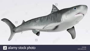 5 meters to feet the tiger shark is a very large macropredator that can reach a