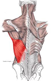 Anatomy And Physiology Of The Back Trunk Muscles Boundless Anatomy And Physiology
