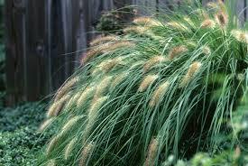 ornamental grasses studiology