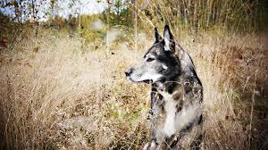 dog nature siberian husky wallpapers hd desktop and mobile