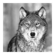 wolf photography posters for sale at allposters com