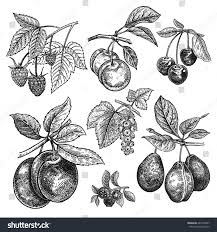 fruits berries set cherry variations plum stock vector 667338247
