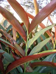 native rainforest plants alpinia caerulea redback ginger native to the mountainous