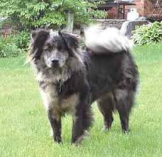 australian shepherd 1 year old what u0027s your mutt accuracy questioned in dna dog tests