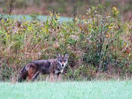 Pennsylvania wildlife images How to deal with problem coyote in pennsylvania jpg