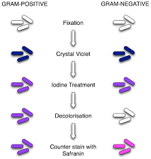 gram staining principle procedure and results microbeonline