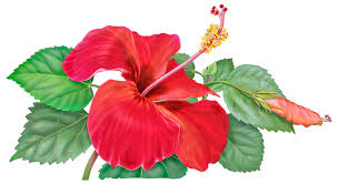 google images flower hibiscus flower drawing google search hybiscus study clipart