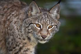 devon continues to search for flaviu the missing lynx that