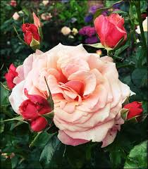 188 best my garden roses and flowers images on pinterest garden
