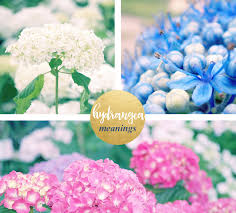 flower hydrangea hydrangea meaning and symbolism ftd