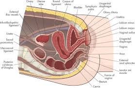 Anatomy Of The Female Reproductive System Pictures Assessment And Health Promotion