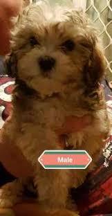 afghan hound breeders qld puppies u0026 dogs for sale in brisbane sydney u0026 melbourne