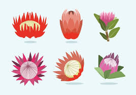 protea flower protea flower vector free vector stock graphics