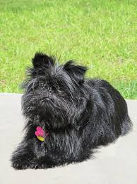 affenpinscher and chihuahua 6 smallest dog breeds with the biggest hearts