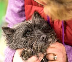 affenpinscher skin problems image composition guide subject isolation articles and tips