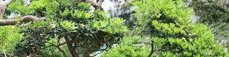 Laurel Topiary - special pruning topiary u0026 garden bonsais u2013 green parrot gardens