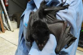 161 best black flying fox bat and other bats images on pinterest