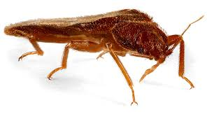 Bed Bug Bed Bugs Ecologic Entomology