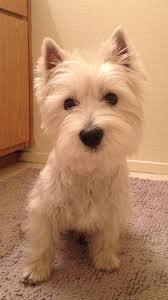 images of westie hair cuts miley do westies need to be groomed by groomed i mean hair cuts