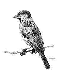 house sparrow drawing by cynthia lanka