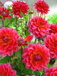 dahlias flowers karma dahlia
