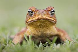 How To Get Rid Of Cane Toads In Backyard Cane Toads Caught On The Hop Alumni U0026 Community The University