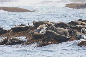 Rhode Island wild animals images Marine mammals of rhode island part 5 harbor seal rinhs jpg