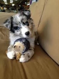 australian shepherd blue eyes awwww he likes to be upsideown australian shepherd aussie
